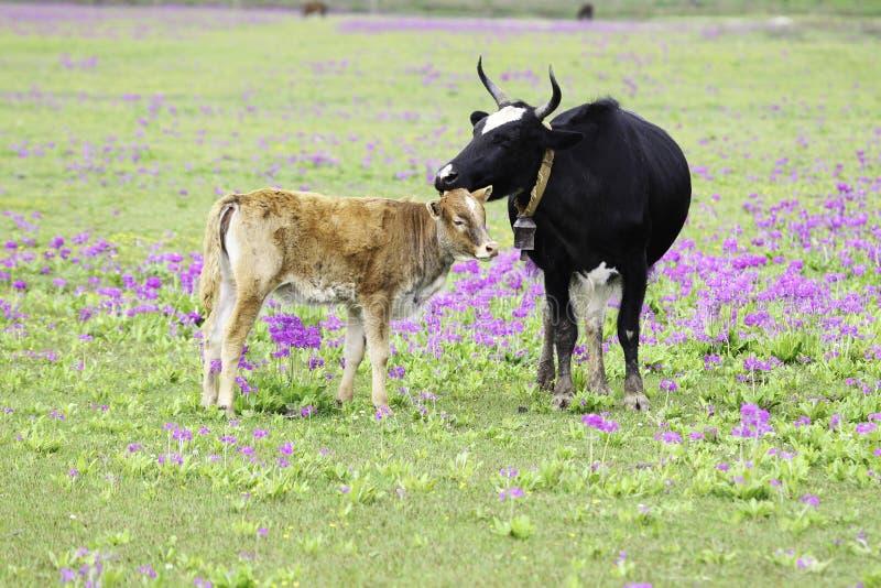 Krowa i łydka fotografia stock