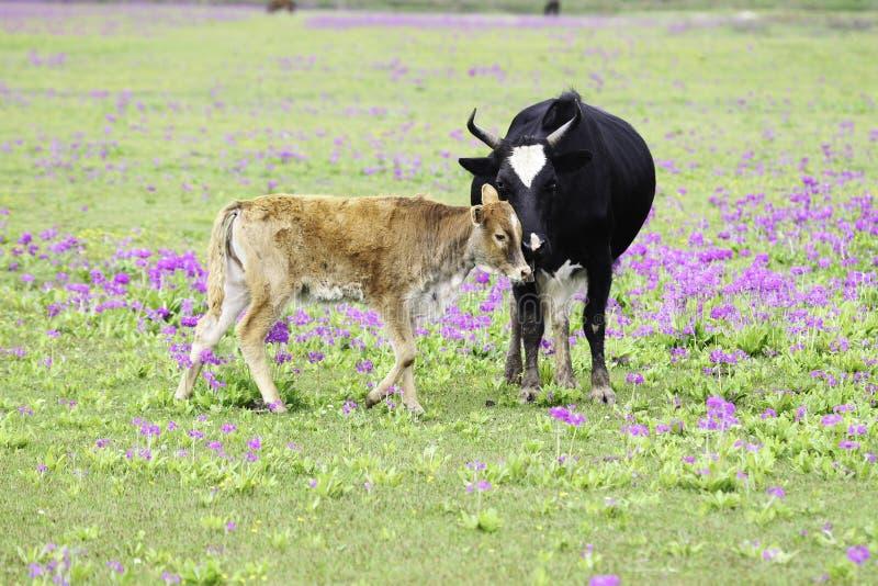 Krowa i łydka obrazy royalty free