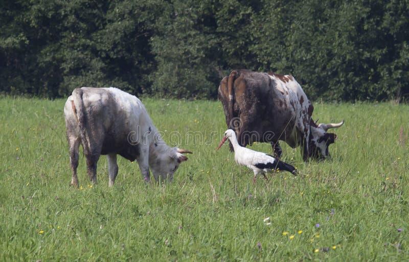 Krowa i bocian obrazy stock