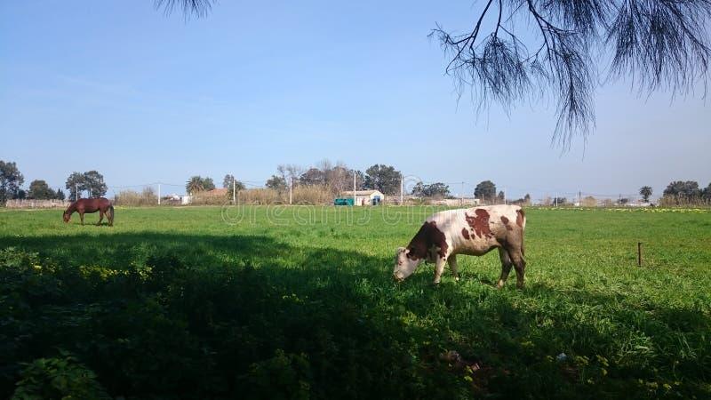 Krowa i koń fotografia royalty free