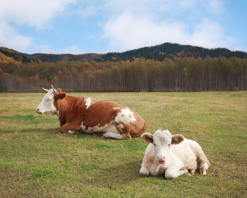 Krowa i młody byka lying on the beach w łące obrazy stock