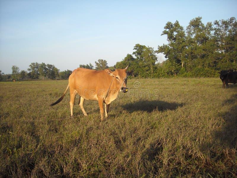 Krowa i pole uprawne zdjęcia stock