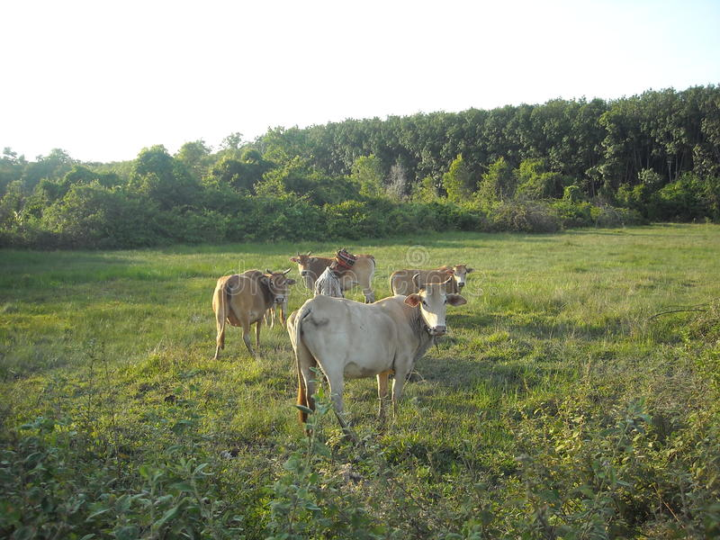 Krowa i pole uprawne zdjęcie royalty free