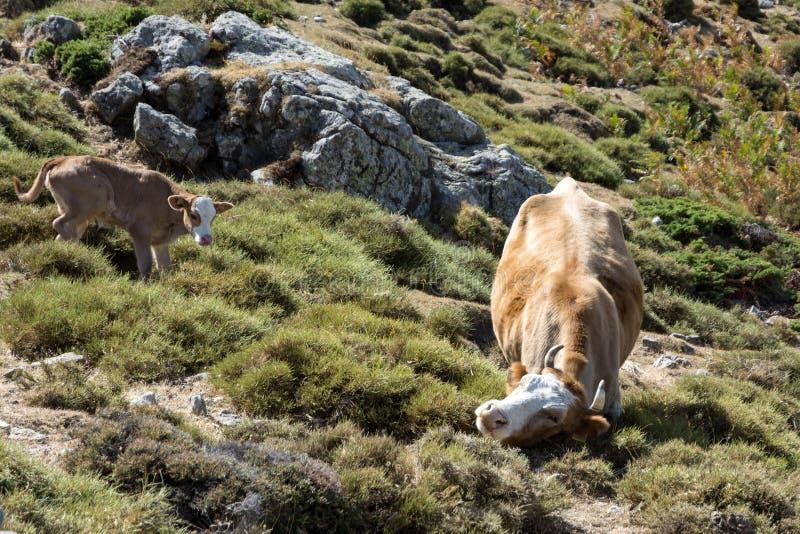 Krowa i potomstwo łydka wolno wędruje na halnej łące zdjęcie stock