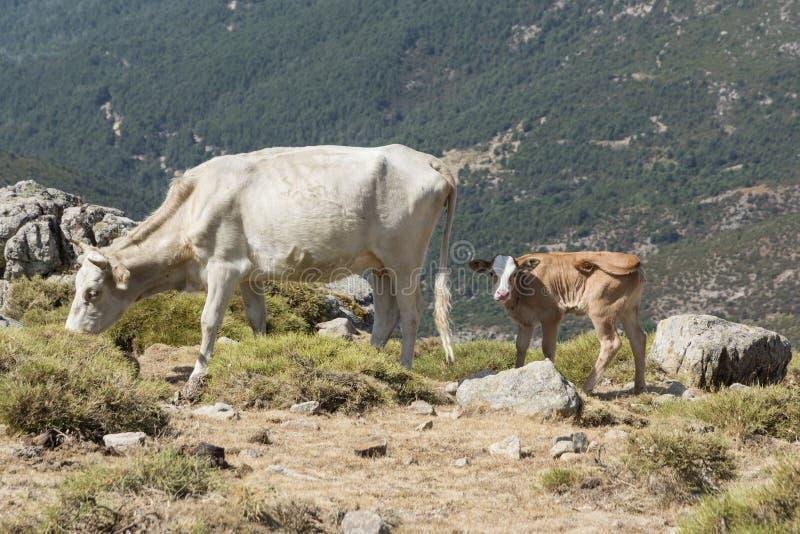 Krowa i potomstwo łydka wolno wędruje na halnej łące zdjęcia stock