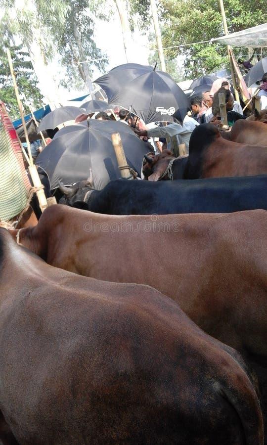 Krowa jarmark najwięcej wydarzenia zdjęcia royalty free