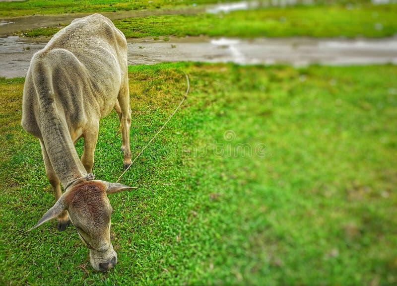 Krowa je zielonej trawy w polu obraz royalty free
