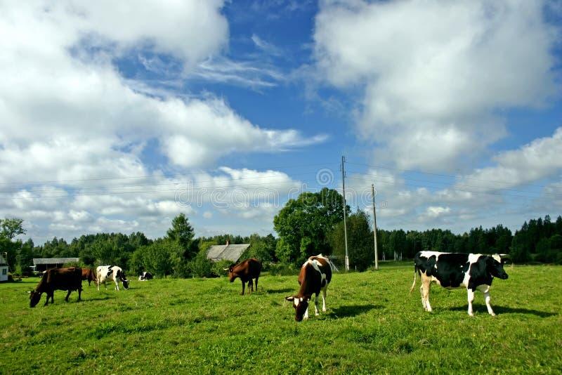 krowa krajobrazu obraz royalty free
