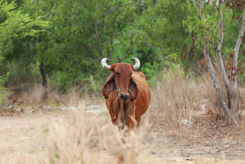 Krowa na łące obraz royalty free