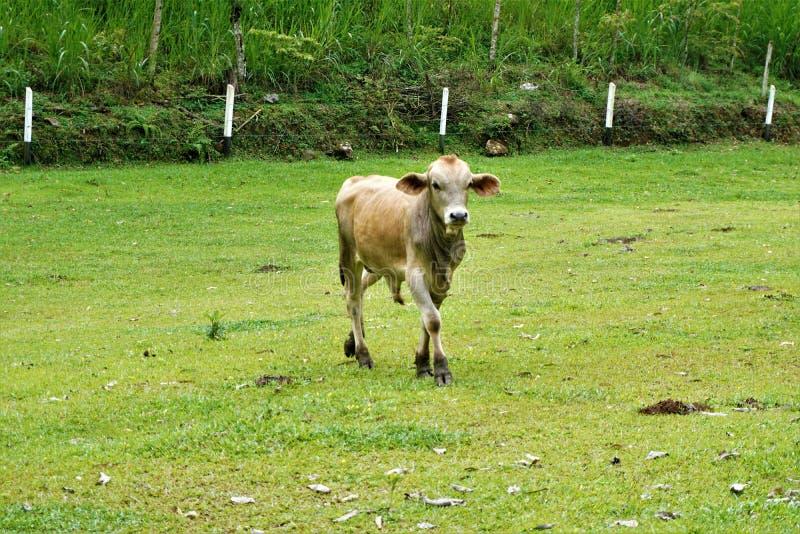 Krowa na łące blisko Perez Zeledon fotografia royalty free