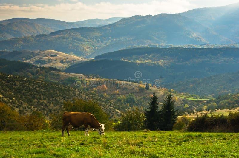 Krowa na łące przy jesienią, halny Goc zdjęcia royalty free