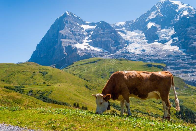 Krowa na halnym paśniku na tle Eiger szczyt Grindelwald Bernese Alps Szwajcaria Europa zdjęcie royalty free