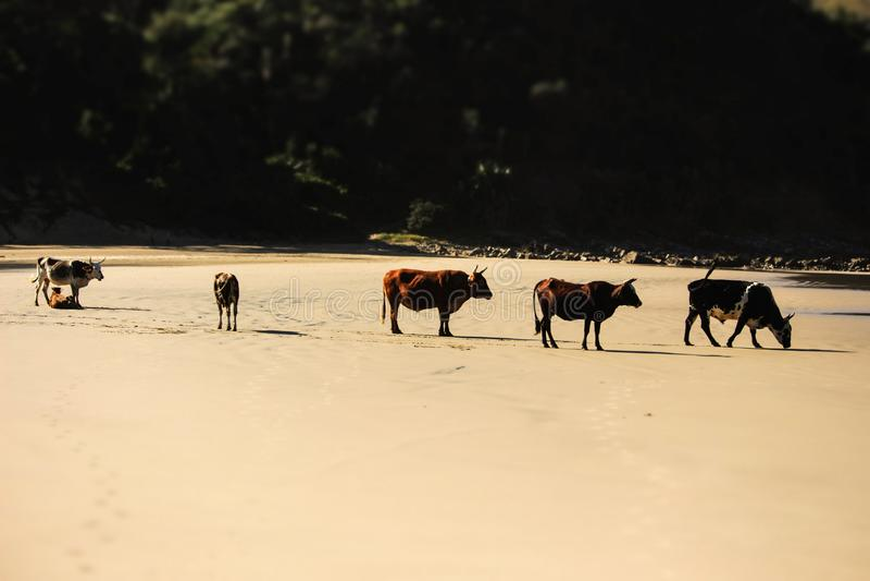 Krowa na plaży 3 fotografia royalty free