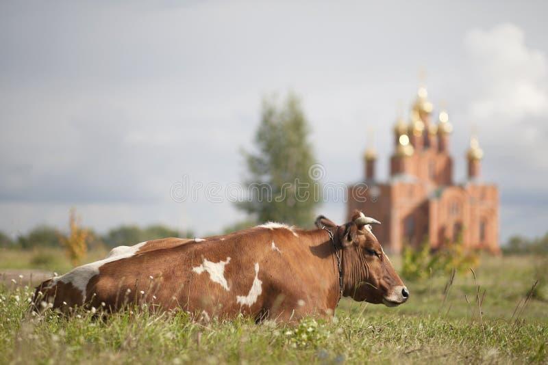 Krowa na tle wniebowzięcie katedra Achair klasztor obrazy royalty free