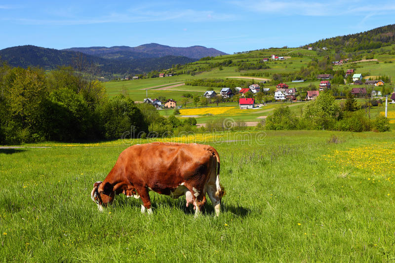 Krowa na zielonej łące zdjęcia stock