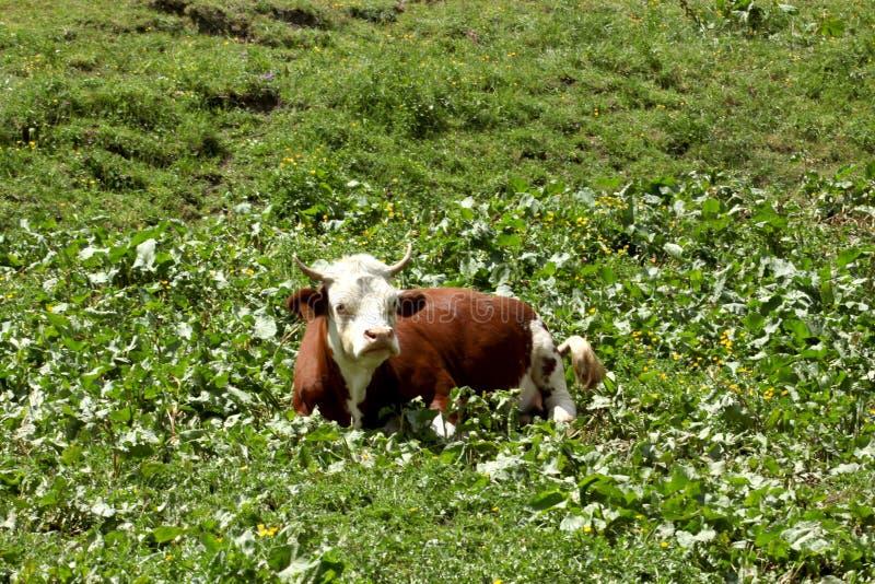 Krowa odpoczynek na łące na Włoskim Alp obrazy royalty free