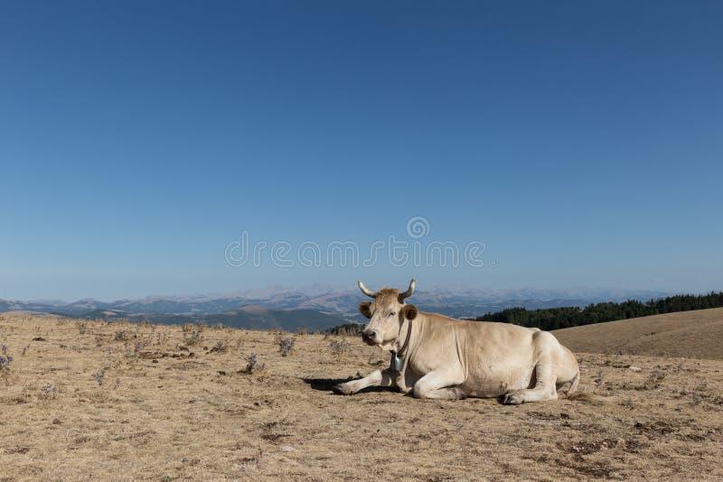 Krowa odpoczywa na łące na górze góry pod dużym, fotografia stock