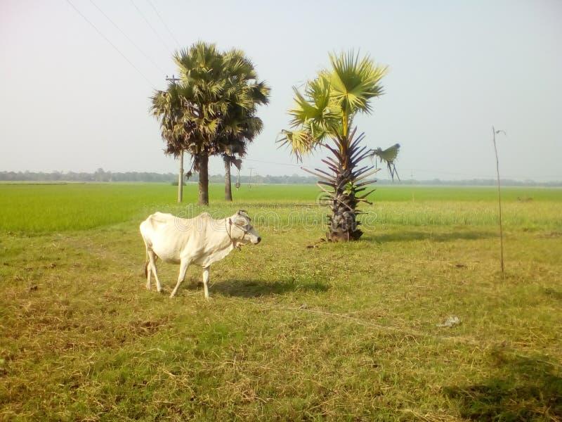 krowa osamotniona obrazy stock