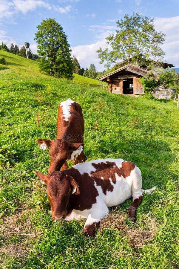 Krowa paśnik na pięknych zielonych Alps halnej łące, lato słonecznego dnia kopii przestrzeń, podtrzymywalny ekologiczny organiczn zdjęcie royalty free