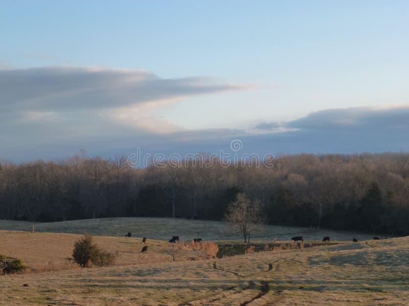 Krowa paśnik w zimie zdjęcia stock