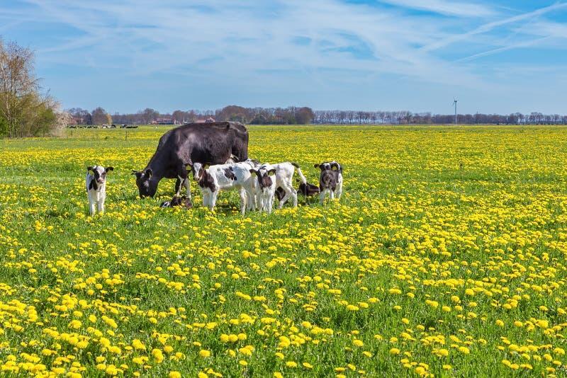 Krowa pasa w łące z dandelions z łydkami fotografia royalty free