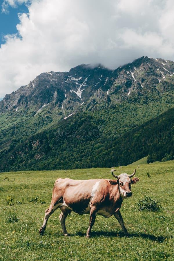 Krowa patrzeje kamerę przy zielonym góra krajobrazu tłem fotografia stock
