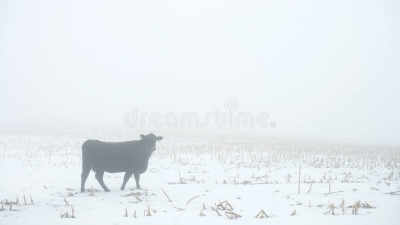 Krowa patrzeje widza w mgle zdjęcie stock