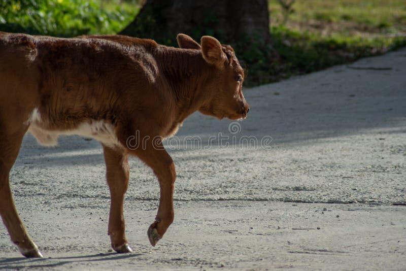 Krowa podczas gdy pasający zdjęcie stock