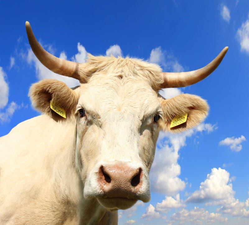 krowa portret zdjęcie stock