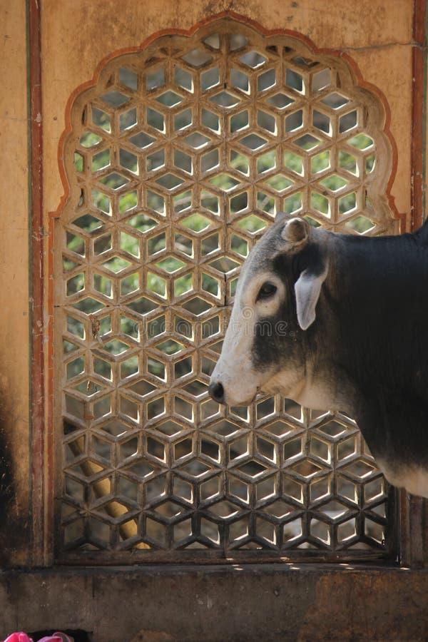 Krowa przy Galta świątynią obraz stock