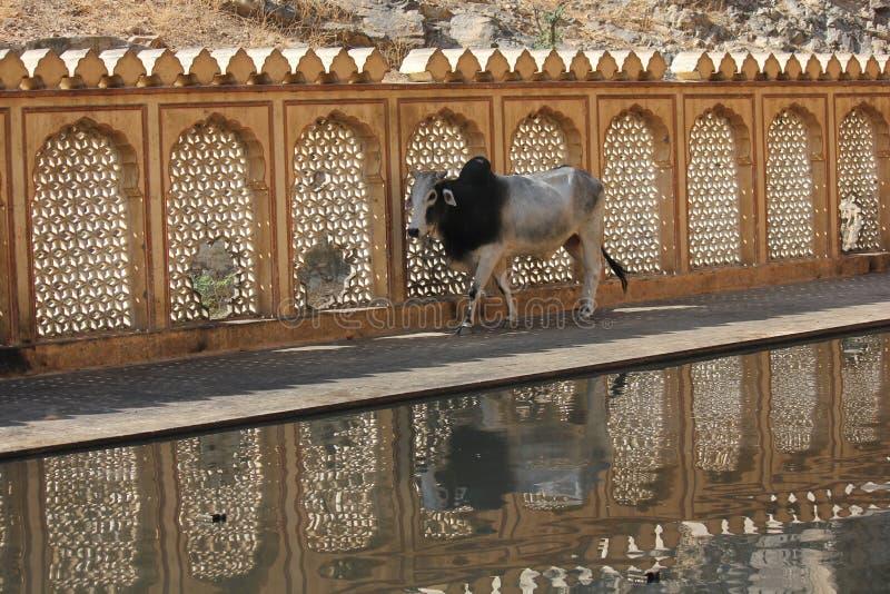 Krowa przy Galta świątynią zdjęcia royalty free