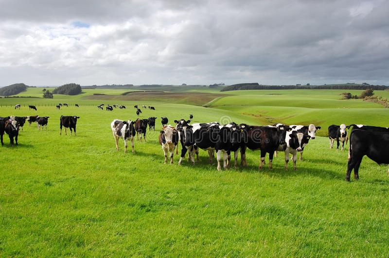 krowa rancho zdjęcia royalty free
