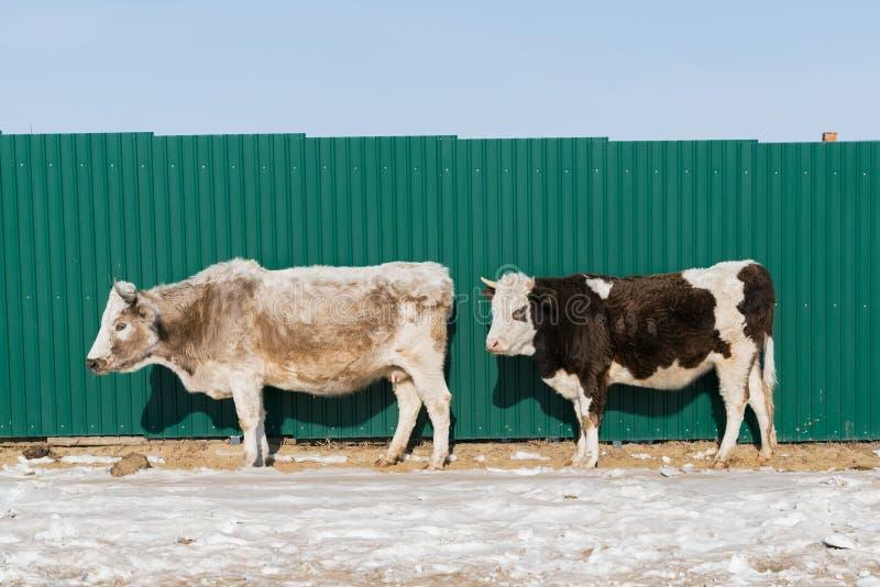 Krowa stojak nad śniegiem z zieloną metal ścianą fotografia stock