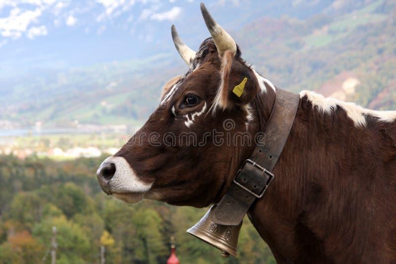 krowa szwajcar zdjęcie stock
