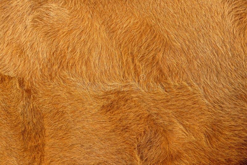 Krowa włosy, futerko, brąz i złoty lub, zdjęcia royalty free