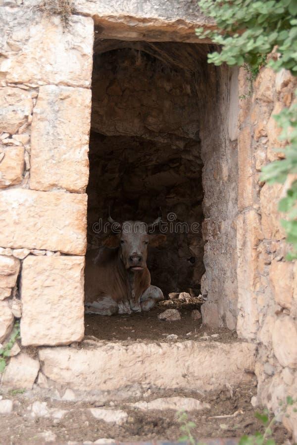 Krowa wśrodku starych ruin obraz royalty free