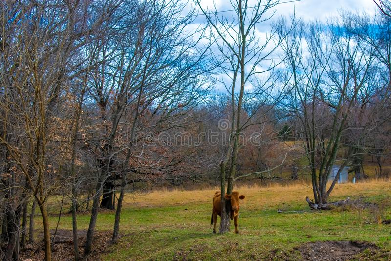 Krowa w śródpolny padać zdjęcia royalty free