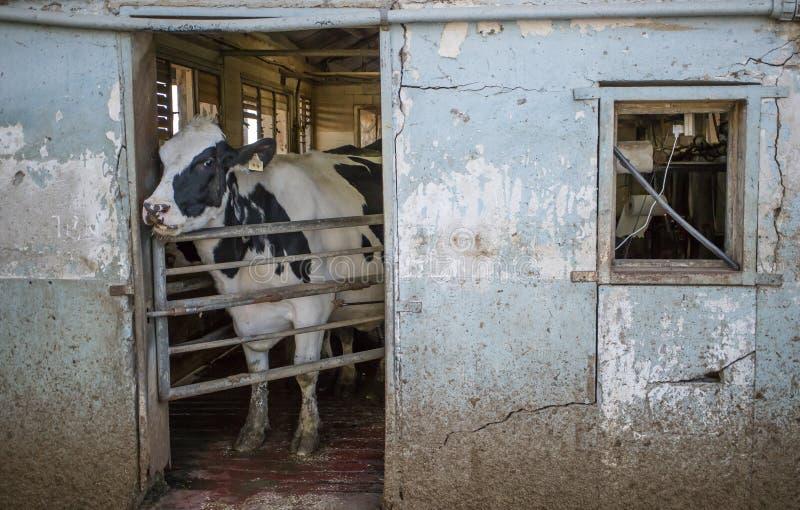 Krowa w Cowshed fotografia royalty free
