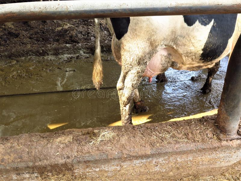 Krowa w cowshed obraz royalty free