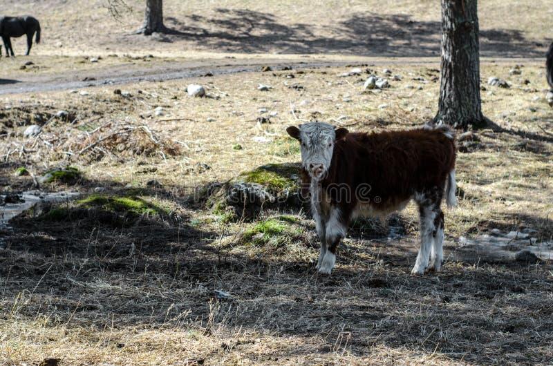 Krowa w pa?niku fotografia stock