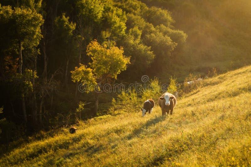 Krowa w pięknym gospodarstwie rolnym zdjęcia stock