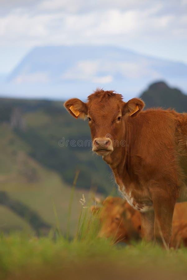 Krowa w zieleni pola łasowania trawie na Azores wyspie obrazy stock
