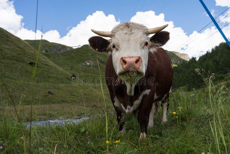 krowa wysokogórska zdjęcie royalty free