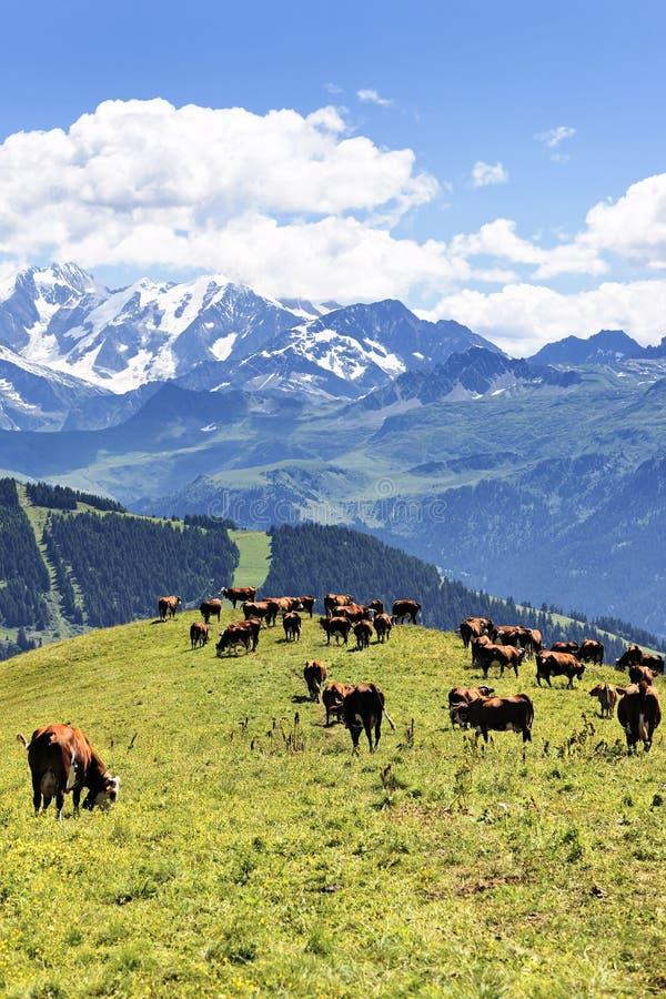 krowa wysokogórski krajobraz zdjęcie royalty free