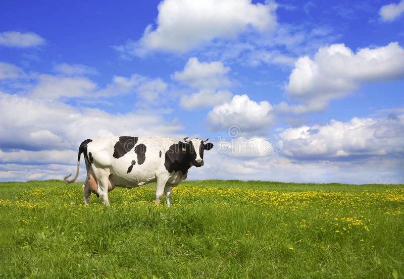 krowy łąka fotografia royalty free