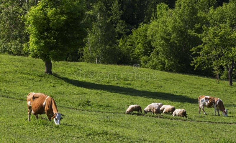 Krowy łasowania trawa przy polem obrazy stock