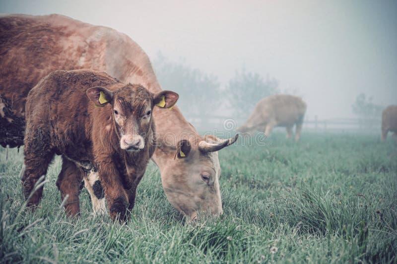krowy łydkowy pole fotografia stock