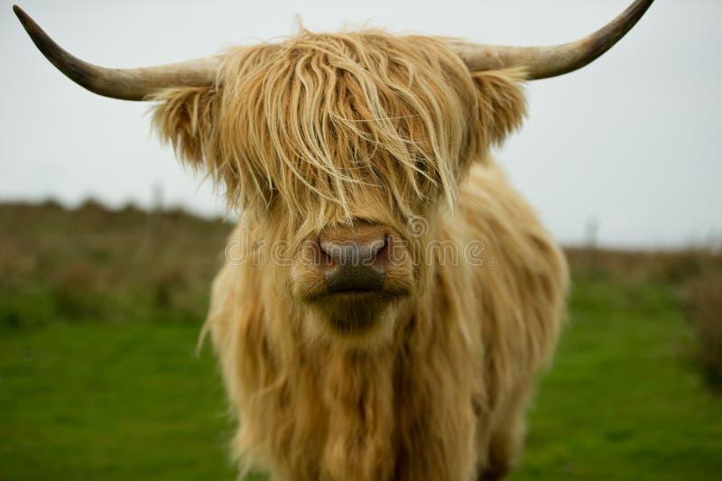 krowy średniogórze obraz stock