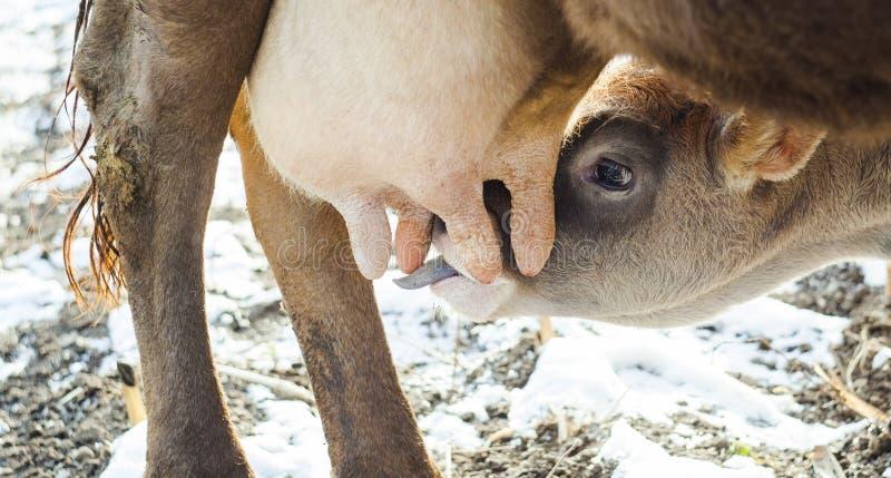 Krowy żywieniowa łydka zdjęcia stock