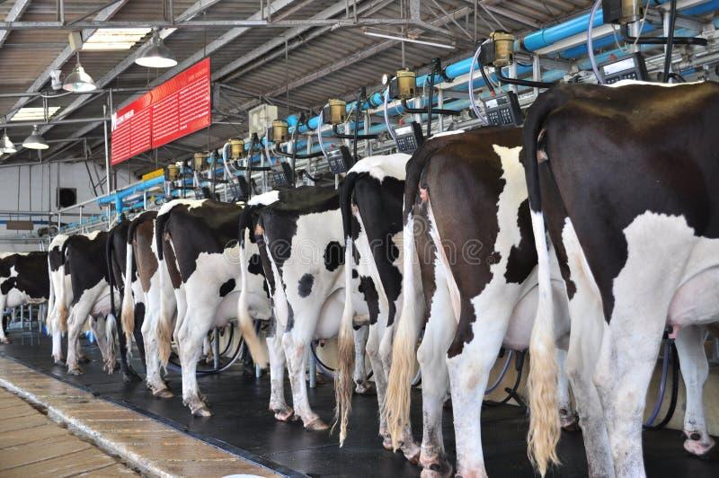 Download Krowy zdjęcie stock. Obraz złożonej z greenbacks, drut - 16030658